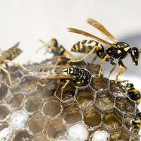 wasps feeding