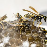 treating a live wasp nest